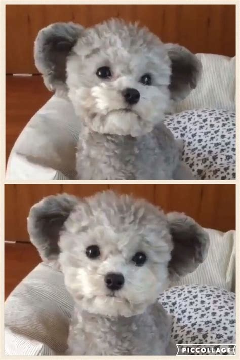 Teddy Bear Haircut Poodle Dress The Dog - clothes for your