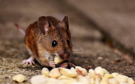 Mice: How to Identity and Get Rid of Mice in the Garden