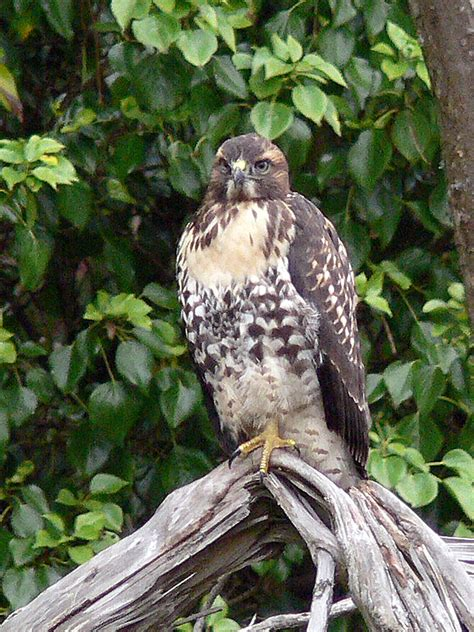 Free picture: juvenile, red, tailed, hawk, tree, branch