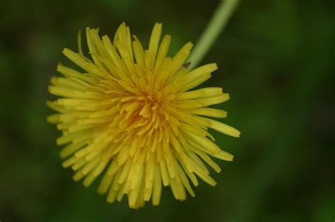 Dandelion Recipes: A Wonderful, Edible Weed | The Old
